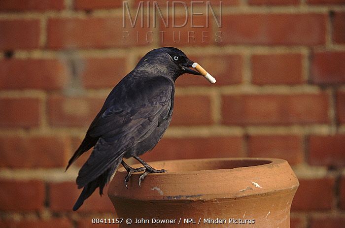 Eurasian Jackdaw (Dardanus megistos) can start housefires by taking smouldering cigarette butts to their nest made in a house chimney. They were called fire-birds because they would carry embers  -  John Downer/ npl