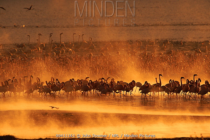Lesser Flamingo (Phoenicopterus minor) flock at sunset, Lake Bogoria, Kenya  -  John Downer/ npl