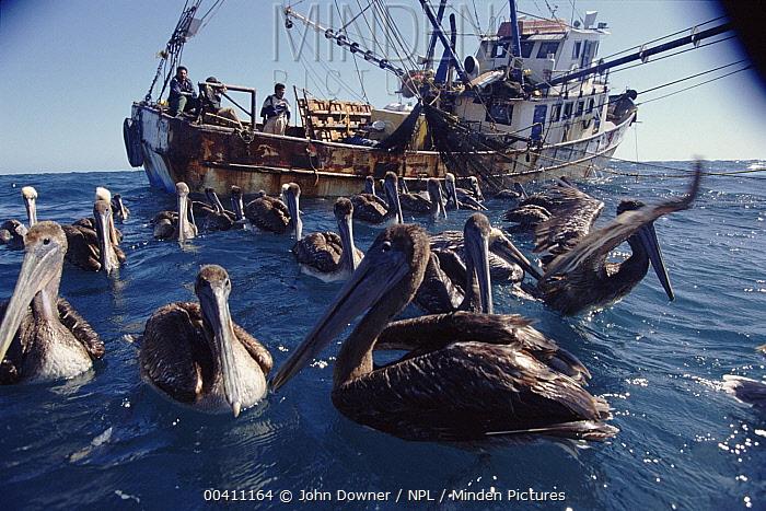 Brown Pelican (Pelecanus occidentalis) flock following fishing trawler, Cabo San Lucas, Mexico  -  John Downer/ npl