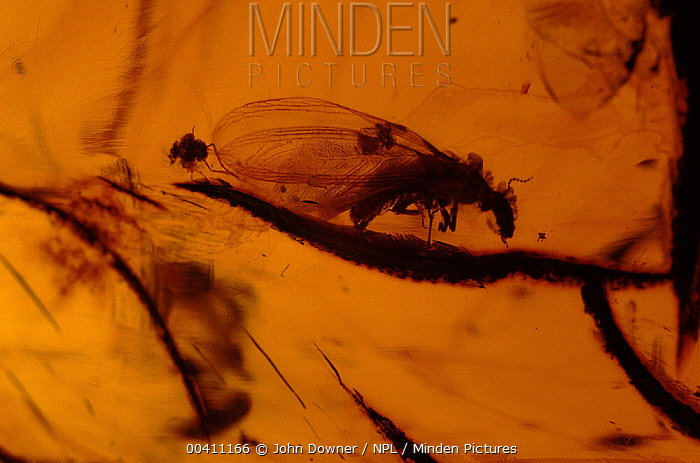 Fly trapped in 30 million year-old amber, Mexico  -  John Downer/ npl