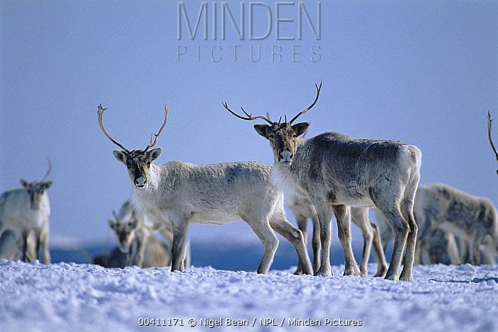 Caribou (Rangifer tarandus) herd in snow, near Goose Bay, Labrador, Canada  -  Nigel Bean/ npl