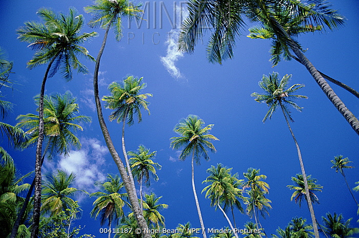 Coconut Palms (Cocos nucifera) at Pigeon Point Tobago  -  Nigel Bean/ npl