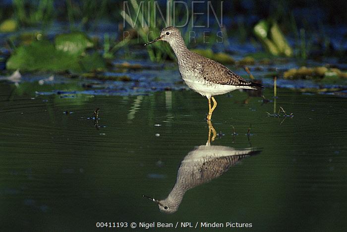 Lesser Yellowlegs (Tringa flavipes) wading in Buccoo Marsh, Tobago  -  Nigel Bean/ npl