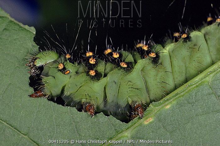 Emperor Moth (Pavonia pavonia) caterpillar feeding on leaf, Germany  -  Hans Christoph Kappel/ npl