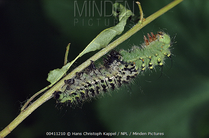 Emperor Moth (Pavonia pavonia) caterpillar shedding skin, Germany. sequence 3 of 4  -  Hans Christoph Kappel/ npl