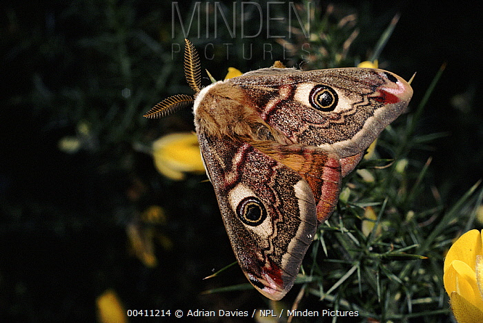 Emperor Moth (Pavonia pavonia) male with forewings folded over hindwings, Germany. sequence 1 of 2  -  Adrian Davies/ npl