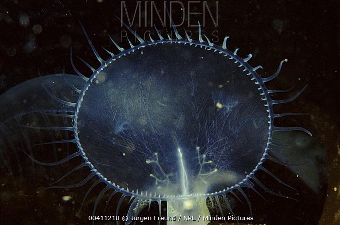 Lion Nudibranch (Melibe leonina) mouth, Pacific coast, Canada  -  Jurgen Freund/ npl