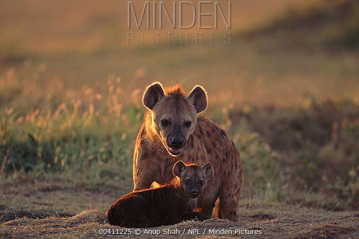 Spotted Hyena (Crocuta crocuta) with young, Masai Mara National Reserve, Kenya  -  Anup Shah/ npl