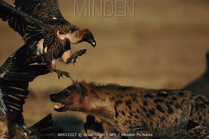 Spotted Hyena (Crocuta crocuta) and White-backed Vulture (Gyps africanus) dispute at carcass, Masai Mara National Reserve, Kenya  -  Anup Shah/ npl