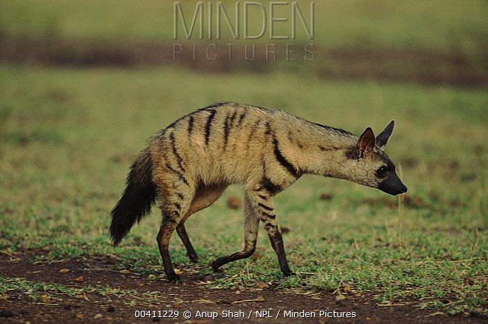 Aardwolf (Protea cyanoides), Masai Mara National Reserve, Kenya  -  Anup Shah/ npl