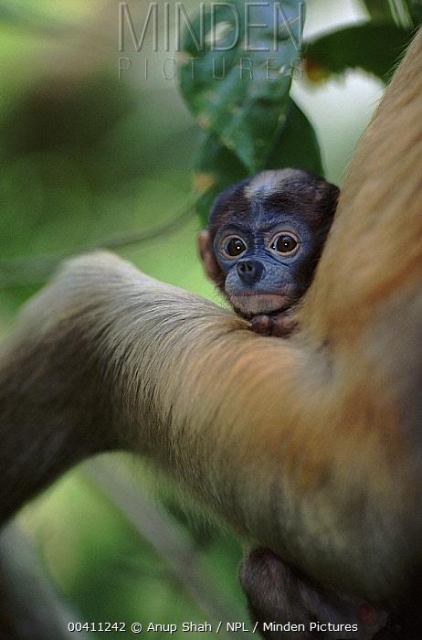 Proboscis Monkey (Nasalis larvatus) baby, native to Borneo  -  Anup Shah/ npl