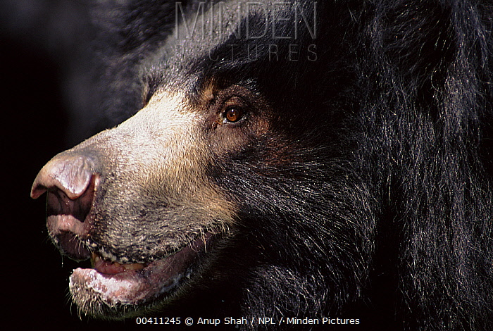 Sloth Bear (Melursus ursinus) close-up, nostrils can be closed and mouth parts are adapted to suck up termites, native to India  -  Anup Shah/ npl