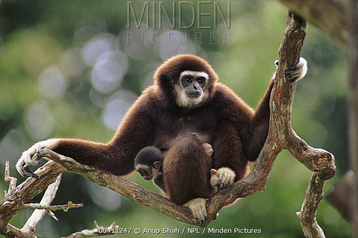 White-handed Gibbon (Hylobates lar) with baby, native to southeast Asia  -  Anup Shah/ npl