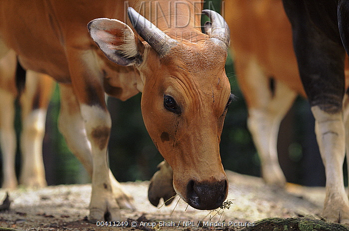 Banteng (Bos javanicus) female, native to forested areas of southeast Asia, domesticated in Indonesia  -  Anup Shah/ npl