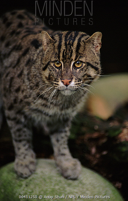 Fishing Cat (Prionailurus viverrinus), native to southeast Asia and India  -  Anup Shah/ npl