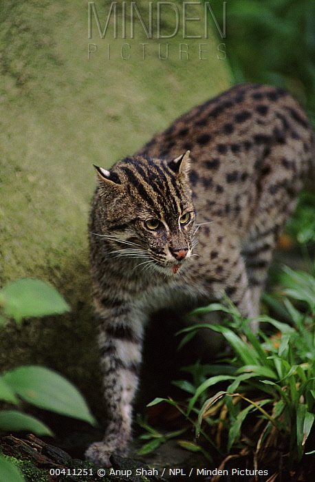 Fishing Cat (Prionailurus viverrinus) occurrs in southeast Asia and India  -  Anup Shah/ npl