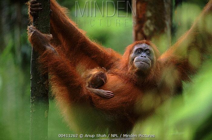 Sumatran Orangutan (Pongo abelii) mother with baby, Gunung Leuser National Park, Indonesia  -  Anup Shah/ npl