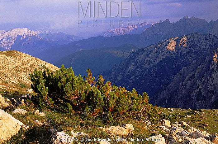 Mountain Pine (Pinus mugo) growing at high altitude in the Italian Dolomites, Italy  -  Tim Edwards/ npl