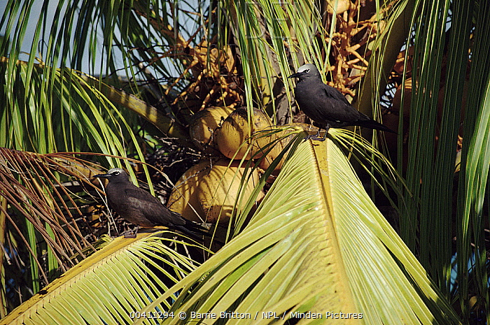Brown Noddy (Anous stolidus) pair in coconut tree, Seychelles  -  Barrie Britton/ npl