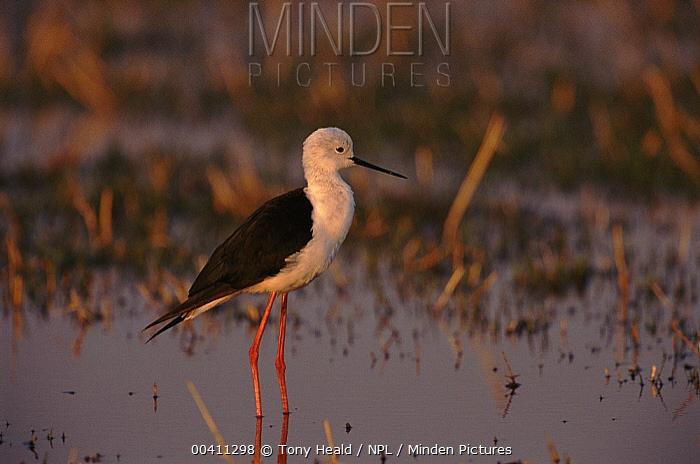Black-winged Stilt (Himantopus himantopus), Moremi, Botswana  -  Tony Heald/ npl