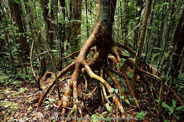 Root system of tropical rainforest tree. Nosy Mangabe Reserve, northeast Madagascar  -  Nick Garbutt/ npl
