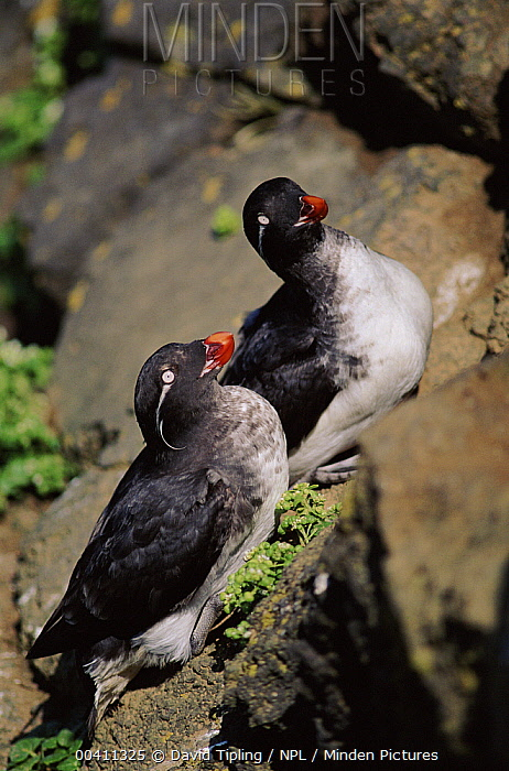 Parakeet Auklet (Cyclorrhynchus psittacula) pair courting, Saint Paul Island, Pribiloff Islands, Alaska  -  David Tipling/ npl