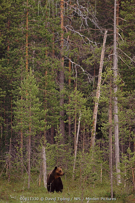 Brown Bear (Ursus arctos) in pine forest, northern Finland  -  David Tipling/ npl