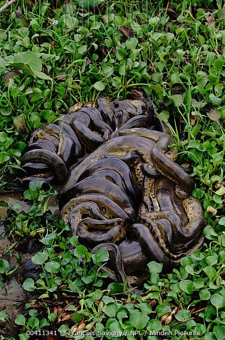 Green Anaconda (Eunectes murinus) breeding ball, up to 10 males surround one female, Venezuela  -  Francois Savigny/ npl