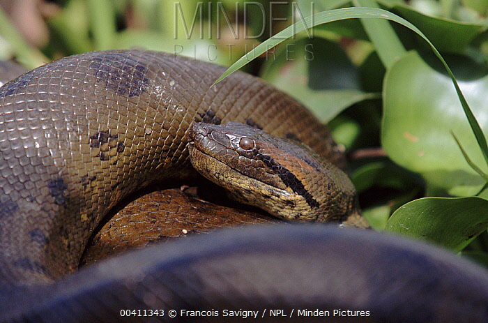 Green Anaconda (Eunectes murinus) male emerging from breeding ball, up to 10 males surround one female, Venezuela  -  Francois Savigny/ npl