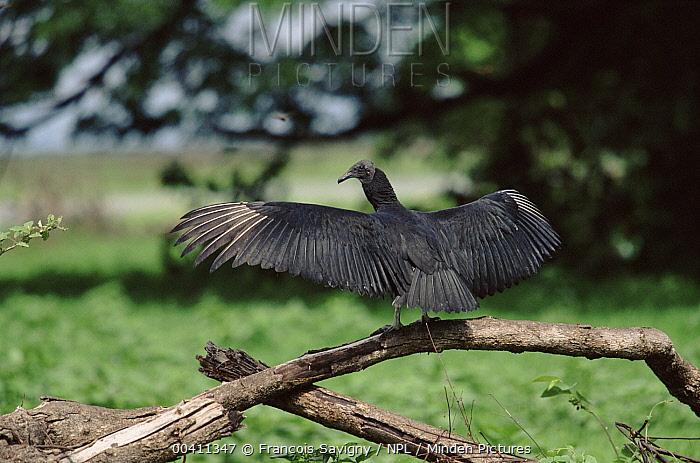 American Black Vulture (Coragyps atratus) warming wings, Hato el Frio, Llanos, Venezuala  -  Francois Savigny/ npl