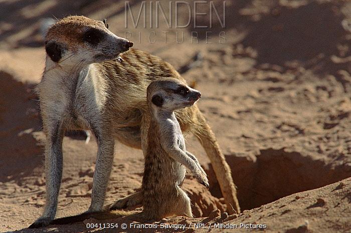 Meerkat (Suricata suricatta) with young, Kalahari Gemsbok, S Africa  -  Francois Savigny/ npl