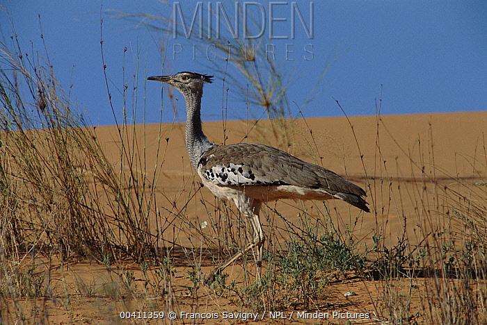 Kori Bustard (Ardeotis kori), Kalahari Gemsbok National Park, South Africa  -  Francois Savigny/ npl