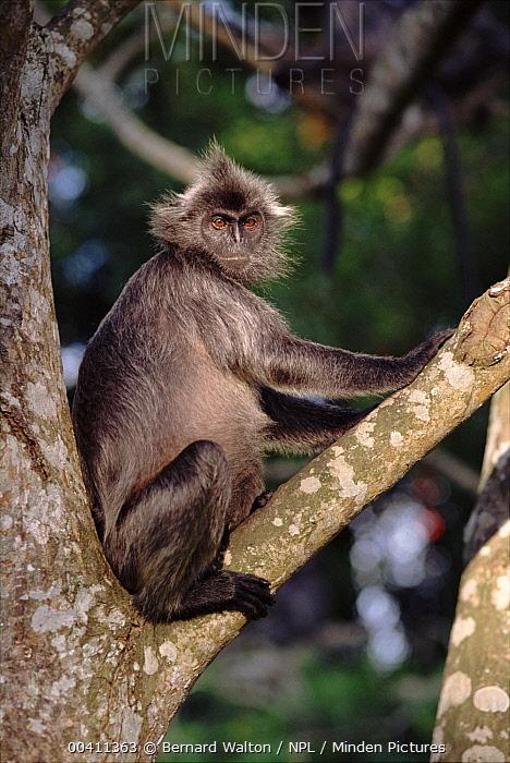 Silvered Leaf Monkey (Presbytis cristata), Malaysia  -  Bernard Walton/ npl