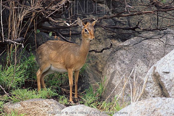 Kirk's Dik-dik (Madoqua kirkii), Serengeti National Park, Tanzania  -  Mike Wilkes/ npl