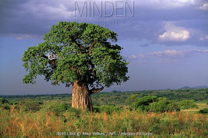 Baobab (Adansonia sp) tree, Tarangire National Park, Tanzania  -  Mike Wilkes/ npl