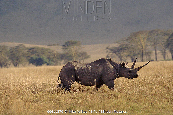 Black Rhinoceros (Diceros bicornis), Ngorongoro Crater, Tanzania  -  Mike Wilkes/ npl