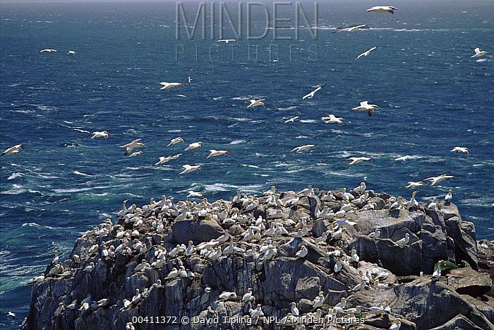 Northern Gannet (Morus bassanus) nest colony, Great Saltee Island, Co Wexford, Ireland, Europe  -  David Tipling/ npl