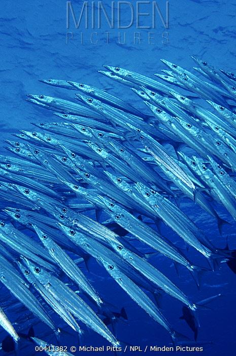 Chevron Barracuda (Sphyraena putnamiae) schooling, Yap, Micronesia  -  Michael Pitts/ npl