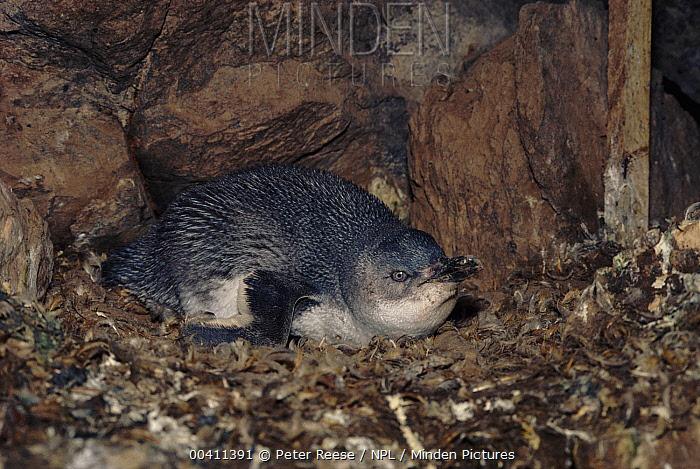 White-flippered Penguin (Eudyptula albosignata) on nest, Banks Pen, New Zealand  -  Peter Reese/ npl