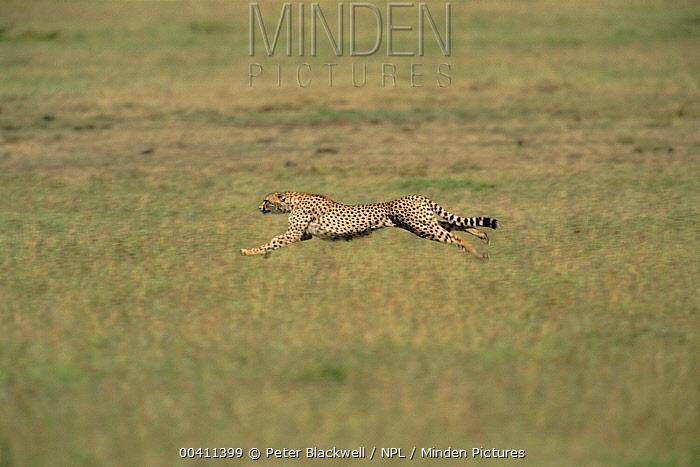 Cheetah (Acinonyx jubatus) running, Masai Mara National Park, Kenya  -  Peter Blackwell/ npl