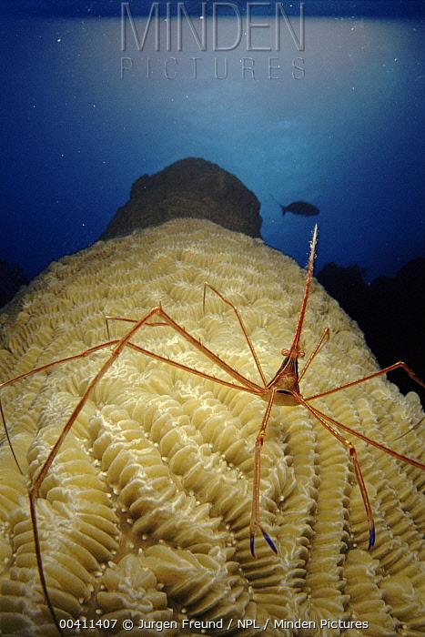 Arrow Crab (Stenorhynchus seticornis) on coral, Caribbean Sea, Cuba  -  Jurgen Freund/ npl