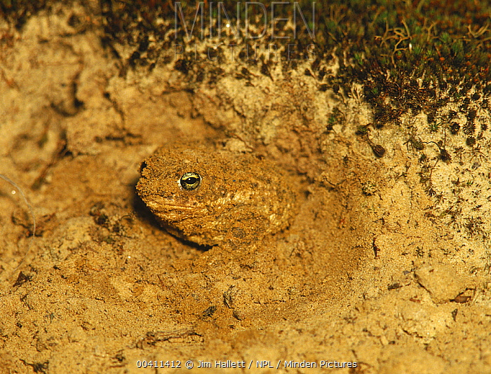 Natterjack Toad (Epidalea calamita) leaving overnight burrow, Hampshire, England  -  Jim Hallett/ npl