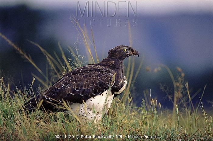 Martial Eagle (Polemaetus bellicosus) portrait, Kenya  -  Peter Blackwell/ npl