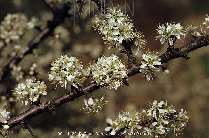 Blackthorn (Prunus spinosa) flowering, Dorset, England  -  Geoff Dore/ npl