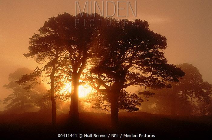 Scotch Pine (Pinus sylvestris) in morning mist, Glen Affric, Inverness-shire, Scotland  -  Niall Benvie/ npl