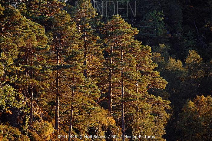 Scotch Pine (Pinus sylvestris) and European White Birch (Betula pendula) at dusk, Glen Affric, Inverness-shire, Scotland  -  Niall Benvie/ npl