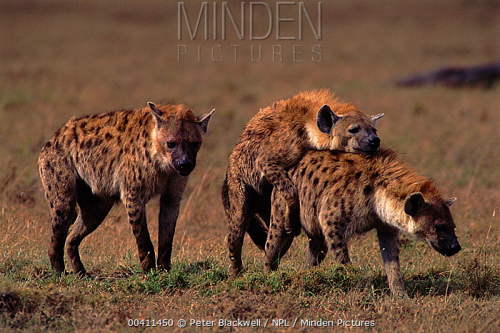Spotted Hyena (Crocuta crocuta) pair mating, Kenya Sequence 4 of 4  -  Peter Blackwell/ npl