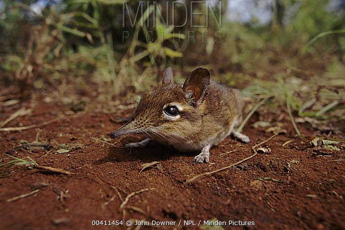 Rufous Elephant Shrew (Elephantulus rufescens), Tsavo National Park, Kenya  -  John Downer/ npl