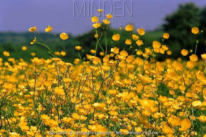 Buttercup (Ranunculus acris) flowering field, England  -  Georgette Douwma/ npl