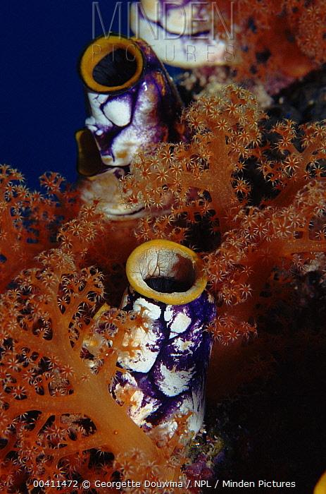 Ink-spot Ascidian (Polycarpa aurata) also called Seaquirt, Banda Island, Molluccas, Indonesia  -  Georgette Douwma/ npl